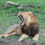 Yawning Romeo