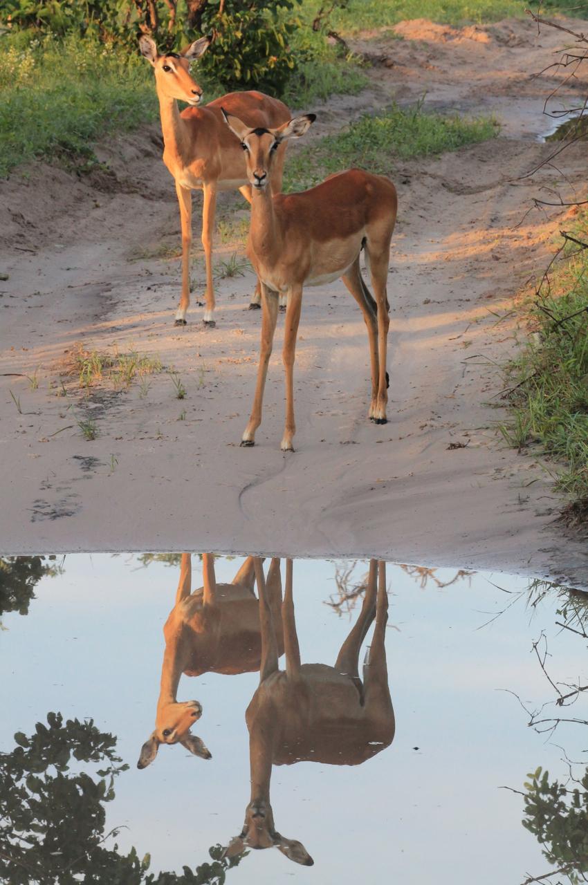 Springbok Mirror