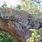 Leopard Nap