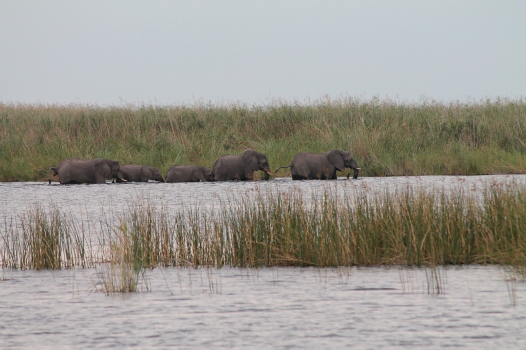 Elephants Crossing the Linyanti River