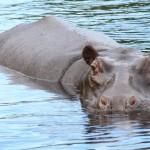 Hippo Gaze