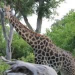 Giraffe Gaze