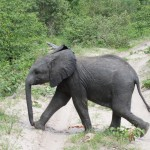 Young Elephant on the Go