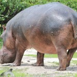 Huge Male Hippo