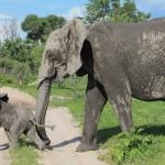 Baby Elephant Leading Mama