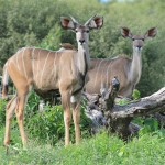 Lovely Kudu