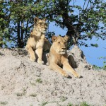 Lions Watching a Hunt