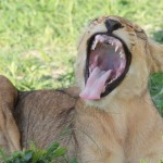 Yawning Male Lion Cub