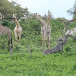 Giraffes Listening to a Leopard Growl