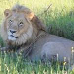 Jao Lion