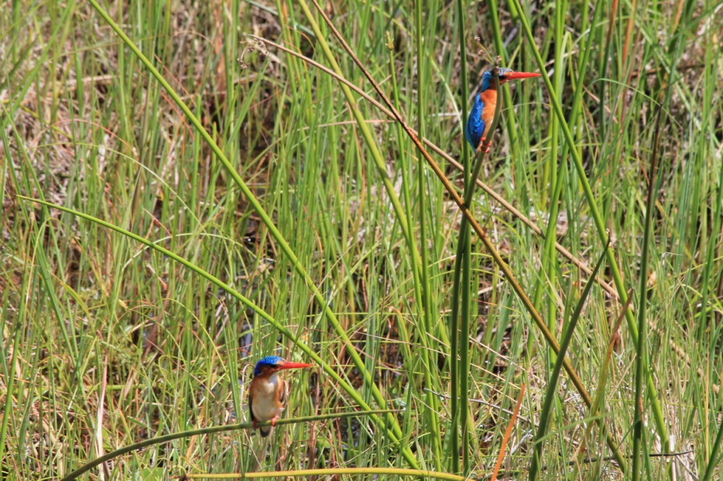 Malachite Kingfishers
