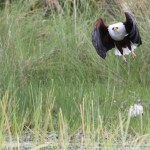 Fish Eagle on the Hunt
